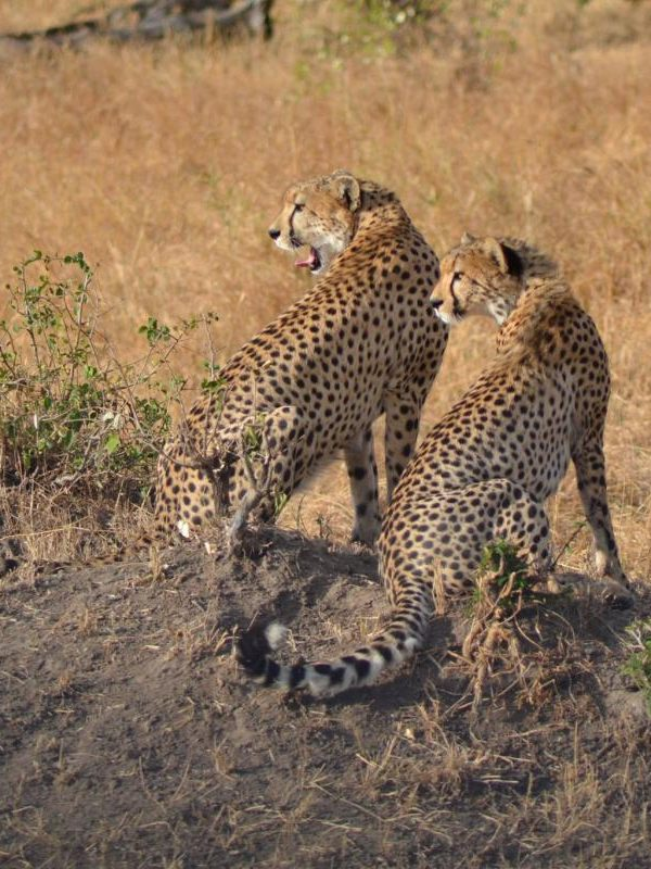 Kenia - cheeta's - Kazuri Safaris