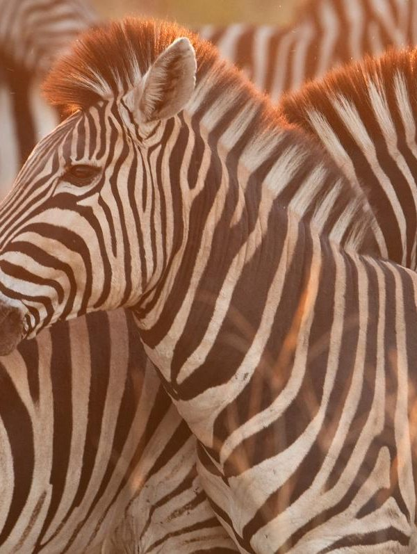 Zebra's - Kazuri Safaris