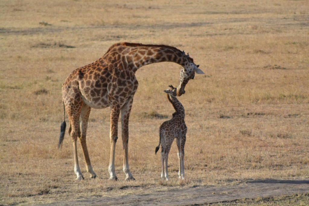 giraf-met-jong Kenia - Kazuri Safaris