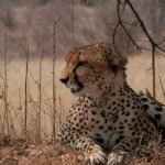 Cheeta - Zuid-Tanzania
