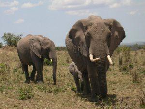 Olifanten Kenia - Kazuri Safaris