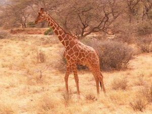 Net giraffe - Kazuri Safaris