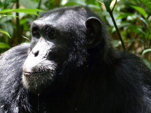 Oeganda - Kazuri Safaris - chimpansee