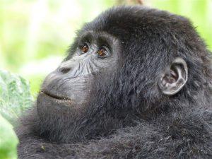 Oeganda - Kazuri Safaris - gorilla