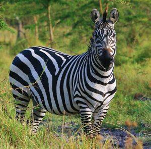 zebra Kazuri Safaris