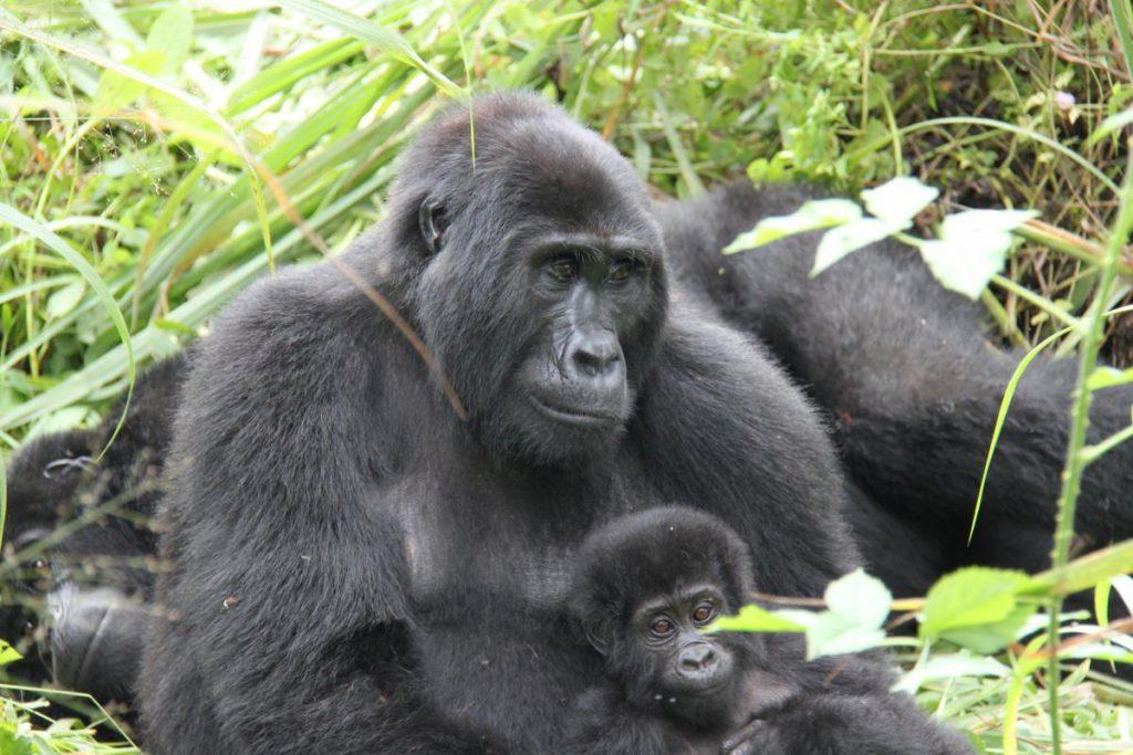 Oeganda-Kazuri Safaris - gorilla