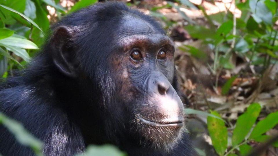 Oeganda-Kazuri-Safaris-Chimpansee