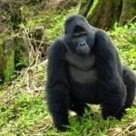 Oeganda-Kazuri-Safaris-Gorilla's
