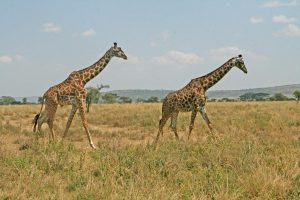 Serengeti - Kazuri Safaris