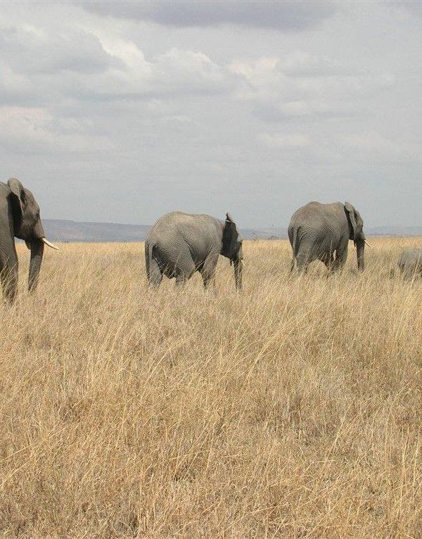 Olifanten in de Serengeti