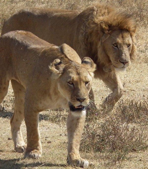 Leeuwen - Kazuri Safaris