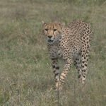 Cheeta - Kazuri Safaris