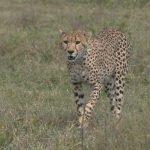 Cheeta - Kazuri Safaris